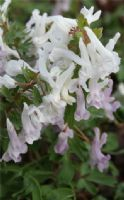 Corydalis solida 'Gandalf'